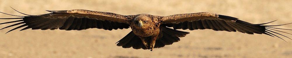 Afrique du Sud - Aigle ravisseur