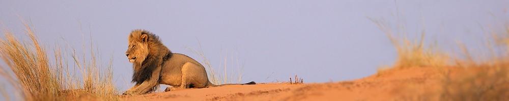 Afrique du Sud - Lion - Kgalagadi Transfrontier Park