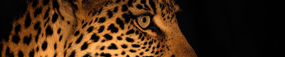 Afrique du Sud - L�opard - Cr�dit photo : Jean-Philippe Baude et Genevi�ve Routier