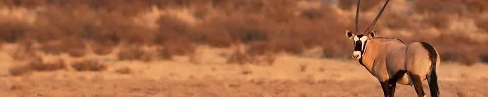 Afrique du Sud - Oryx dans le Kgalagadi Transfrontier Park
