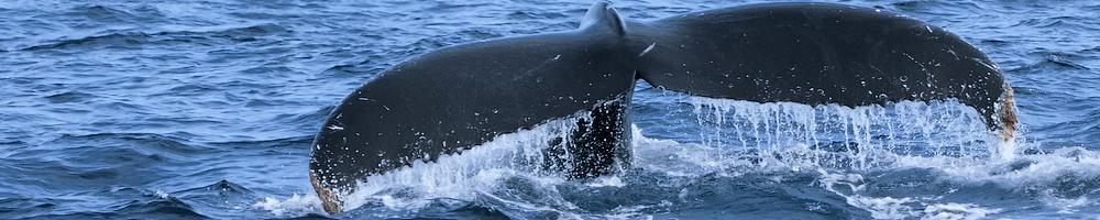 Afrique du Sud - Baleine r�gion du Cap