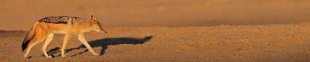 Afrique du Sud - Chacal - Cr�dit photo : Jean-Philippe Baude et Genevi�ve Routier