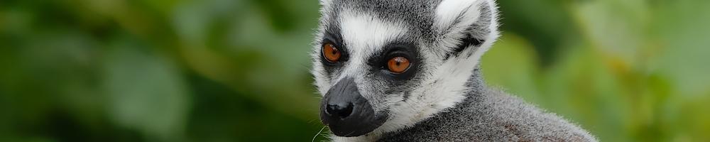 Madagascar - Maki kata - Cr�dit photo : Jean-Philippe Baude et Genevi�ve Routier