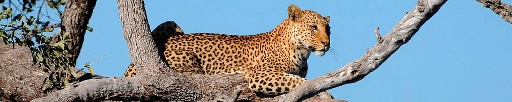 Zimbabwe - L�opard