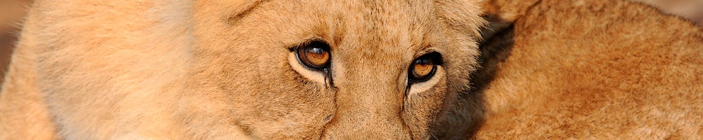 Zimbabwe - Lions